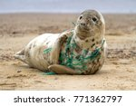 Stock photo a grey seal at horsey beach in england tragically caught in a section of fishing net an upsetting 771362797