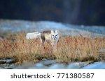 arctic fox  white fox   polar... | Shutterstock . vector #771380587