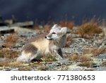 arctic fox  white fox   polar... | Shutterstock . vector #771380653