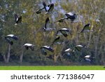 cranes in flight. flock of... | Shutterstock . vector #771386047