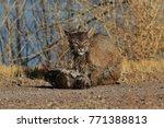 bobcat lynx rufus bosque del...   Shutterstock . vector #771388813