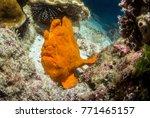 frog fish at isla de coco | Shutterstock . vector #771465157