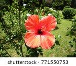 hibiscus rosa sinensis  known... | Shutterstock . vector #771550753