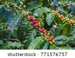 coffee berries on a coffee tree.... | Shutterstock . vector #771576757
