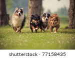 Stock photo four australian shepherd running over the lawn 77158435