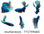 siamese fighting fish red blue... | Shutterstock . vector #771749683