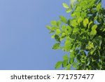 green leaves on blue sky... | Shutterstock . vector #771757477