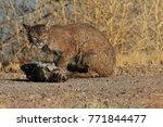 bobcat lynx rufus bosque del...   Shutterstock . vector #771844477
