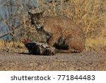 bobcat lynx rufus bosque del...   Shutterstock . vector #771844483