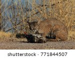 bobcat lynx rufus bosque del...   Shutterstock . vector #771844507