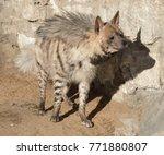funny striped hyena  hyaena... | Shutterstock . vector #771880807