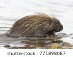 wet north american porcupine... | Shutterstock . vector #771898087