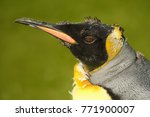 close up of a juvenile king... | Shutterstock . vector #771900007