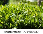 bright green hedge small leaves | Shutterstock . vector #771900937
