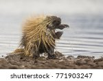 wet north american porcupine... | Shutterstock . vector #771903247