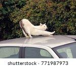 white cat on car. cat...   Shutterstock . vector #771987973
