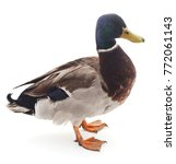 one wild duck isolated on a... | Shutterstock . vector #772061143