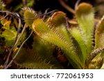 carnivorous plant drosera...   Shutterstock . vector #772061953