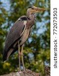 a grey heron  ardea cinerea  in ...   Shutterstock . vector #772073503