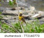 sudan golden sparrow  yellow... | Shutterstock . vector #772160773