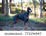 beautiful doberman in the forest | Shutterstock . vector #772196947