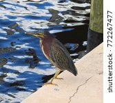 wild green heron standing at... | Shutterstock . vector #772267477
