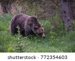 grizzly bear image | Shutterstock . vector #772354603