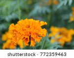 Orange Carnation In All Its...