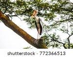 the painted stork  mycteria... | Shutterstock . vector #772366513