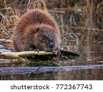 big beaver in a river outlet... | Shutterstock . vector #772367743