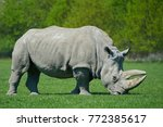 White Rhinoceros In Sunshine...