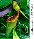 carnivorous nepenthes plant ...   Shutterstock . vector #772476643