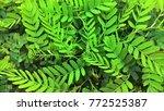 small tamarind tree | Shutterstock . vector #772525387