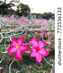 Small photo of Pink Adenium flower in a big Adenium garden