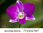 violet dendrobium orchid  with... | Shutterstock . vector #772542787