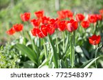 multi colored tulips on the... | Shutterstock . vector #772548397