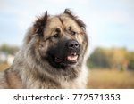 the caucasian sheep dog in the... | Shutterstock . vector #772571353