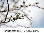 fresh cherry blossoms | Shutterstock . vector #772681843