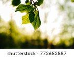 fresh spring leaves | Shutterstock . vector #772682887