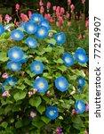 Blue Flower  Morning Glory...