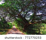 Small photo of Landscape Road with large tree ( Samanea saman ) and nature carnal