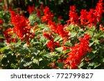Lobelia Speciosa Flowers