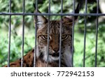 eurasian lynx  lynx lynx ...   Shutterstock . vector #772942153