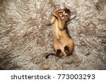 Small photo of Funny Abyssinian kitten playing on a fur blanket.