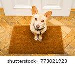 podenco dog waiting for owner... | Shutterstock . vector #773021923