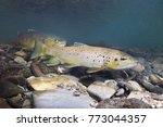 Brown Trout  Salmo Trutta ...
