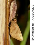 Small photo of Image of the common Redeye Butterfly (Matapa aria Moore) on tree. Insect. Animal.