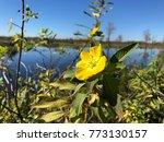 pretty yellow marsh marigold in ... | Shutterstock . vector #773130157