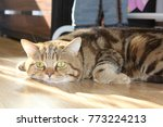 Stock photo beautiful curious scottish wildcat felis silvestris grampia looking at camera golden shaded 773224213