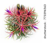 Tillandsia Ionantha. The...